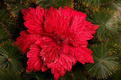 Christmas red flower Royalty Free Stock Photo