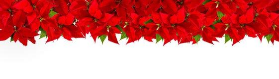 Christmas red flower poinsettia Floral border. Christmas red flower poinsettia on white background. Floral border stock photos