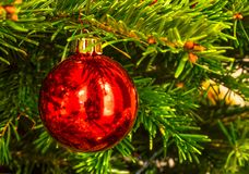 Christmas red globe on green tree Stock Image