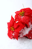Christmas red poinsettias Royalty Free Stock Photography