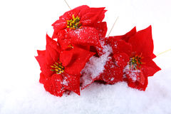 Christmas red poinsettias Stock Photos