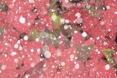 Christmas red poinsettias background over snowflake background. Painting snow and Red Poinsettia Flower, Euphorbia stock photos