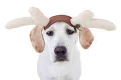 Christmas Reindeer Dog Royalty Free Stock Image