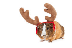 Christmas Reindeer Guinea Pig With Copyspace. Funny photo of a little pet guinea pig wearing reindeer antlers. Isolated on white with copyspace Royalty Free Stock Image