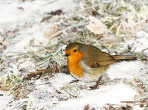 Christmas robin Royalty Free Stock Image