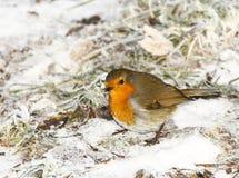 Christmas robin royalty free stock image