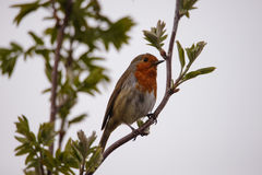 Christmas robin perched on a branch. Robin redbreast perched on branch in a UK garden royalty free stock image