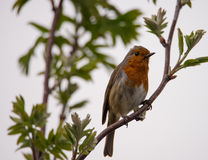 Christmas robin perched on a branch. Robin redbreast perched on branch in a UK garden royalty free stock photography