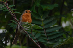 Christmas robin perched on fence. Robin perched on fence in a UK garden Stock Photography