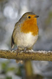 Christmas robin sat on snowy perch. Red robin in dorset woodland perched on snow covered branch royalty free stock photo