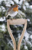 Christmas Robin in the Snow. European robin perched on spade handle whilst snow is falling with flakes on its head royalty free stock photography