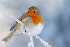 Christmas Robin In Winter Royalty Free Stock Images