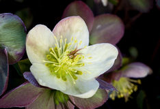 Christmas rose Royalty Free Stock Images