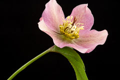 Christmas rose Royalty Free Stock Image
