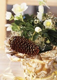 Christmas rose. Is the best gift for Christmas Royalty Free Stock Photo