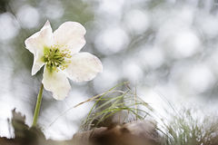 Christmas rose or black hellebore Stock Photography