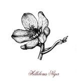 Christmas rose, botanical vintage engraving. The Christmas rose or black hellebore (Helleborus niger) is an evergreen perennial flowering plant in the buttercup royalty free illustration