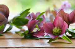 Christmas rose flowers. Purple Christmas rose flowers on wooden table royalty free stock images