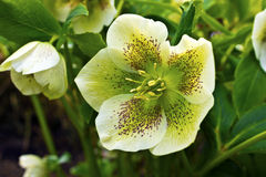 Christmas Rose fowering plant in a garden. Stock Image
