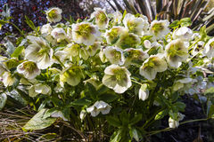 Christmas Rose fowering plant in a garden. Royalty Free Stock Photo