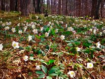 Christmas rose Helleborus niger. Spring in the forest Royalty Free Stock Photo