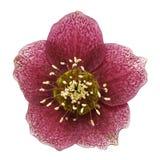 Christmas rose (Helleborus niger) Stock Photos