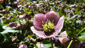 Christmas Rose. Helleborus Niger Stock Images