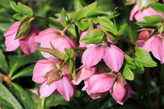 The Christmas rose or Helleborus  is a perennial plant Royalty Free Stock Image