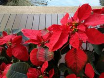Christmas rose, poinsettia tree near edge of pond. Closeup Christmas rose, poinsettia tree near edge of pond stock image