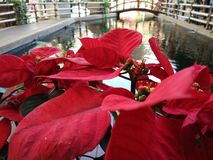 Christmas rose, poinsettia tree on the park. Closeup Christmas rose, poinsettia tree and blurred view of pond background stock photography