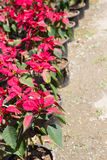 Christmas rose or poinsettia tree Stock Images