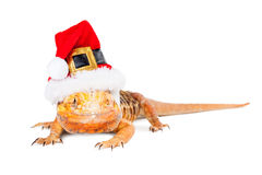 Christmas Santa Bearded Dragon Royalty Free Stock Photography
