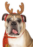 Christmas Santa BullDog With Reindeer Antlers Stock Image