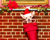 Christmas santa claus dog in stockings for xmas Stock Photo
