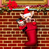 Christmas santa claus dog in stockings for xmas Stock Image