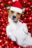 Christmas santa claus dog and xmas balls as background Royalty Free Stock Photo