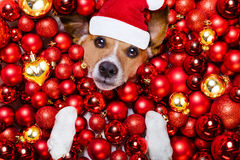 Christmas santa claus dog and xmas balls as background Stock Images