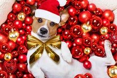 Christmas santa claus dog and xmas balls as background Stock Image