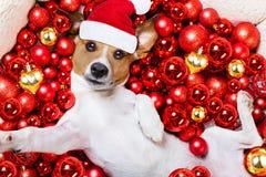 Christmas santa claus dog and xmas balls as background royalty free stock photography