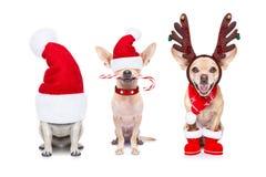 Big team row of dogs on christmas holidays stock image