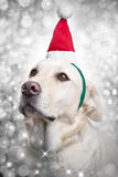 Christmas Santa Hat Sparkle Dog Royalty Free Stock Image