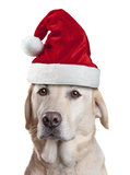 Christmas Santa Hat Dog. A Labrador dog wearing a santa hat isolated on a white background Stock Image