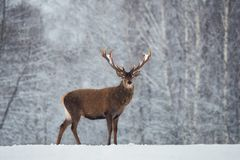 Christmas Scenic Wildlife Landscape With Red Noble Deer And Falling Snowflakes.Adult Deer Cervus Elaphus, Cervidae With Snow-Co. Vered Branched Antlers On The royalty free stock images