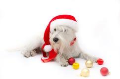 Christmas schnauzer. Miniature white schnauzer isolated on white background Stock Image