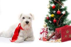 Christmas schnauzer. Miniature white schnauzer isolated on white background Royalty Free Stock Photography