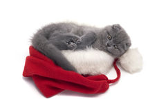 Christmas scottish fold kitty Stock Photography