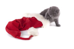 Christmas scottish fold kitty. And Santa's hat royalty free stock photography