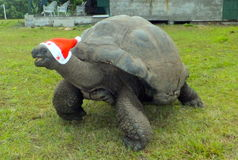 Aldabra Giant Tortoise. Christmas in the Seychelles. George the 150 year old Aldabra Giant Tortoise, Cousin Island, Seychelles Royalty Free Stock Photos
