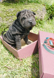 Christmas shar pei Stock Photos