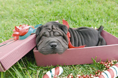 Christmas shar pei Royalty Free Stock Photo